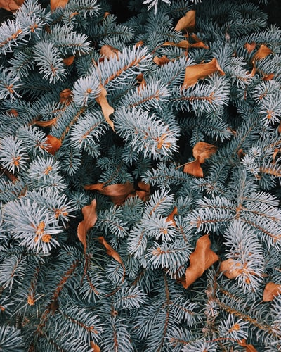 Pine trees with leaves on the branches.