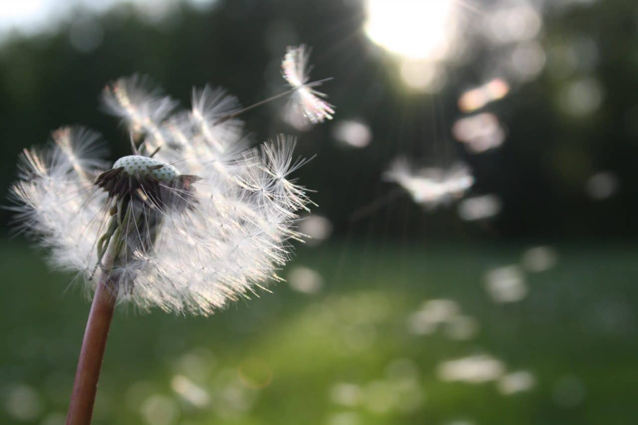 A picture of dandelion seeds blowing in the wind.